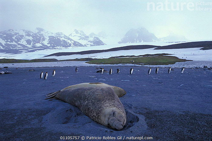 Southern elephant seal {Mirounga leonina} + King penguins on beach. S Georgia Is.  ,  SEALS,RESTING,PINNIPEDS,BEACHES,BIRDS,ANTARCTICA,COASTS,IS,LANDSCAPES,MAMMALS,MIXED SPECIES,MARINE,HABITAT,GROUPS,FLIGHTLESS,FLOCKS  ,  Patricio Robles Gil