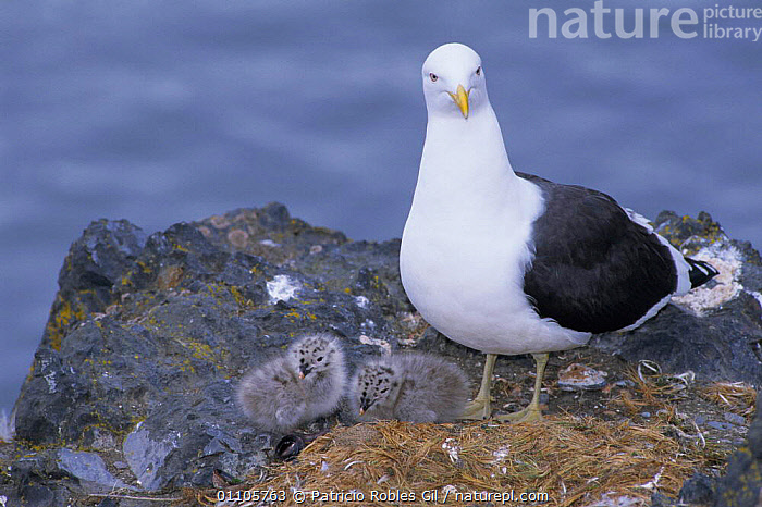 Southern black backed / Kelp gull + two chicks at nest {Larus dominicans} Antarctica  ,  BABIES,BIRDS,COASTS,FAMILIES,FAMILY,NESTS,BIRD,SEABIRDS,GULLS  ,  Patricio Robles Gil