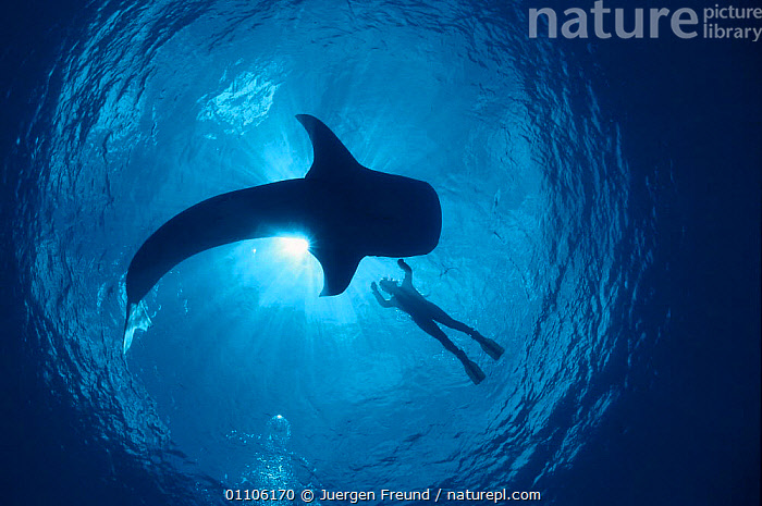 Whale shark and person swimming in silhouette {Rhinicodon typus} Indo Pacific, ARTY,ARTY SHOTS,DIVER,FISH,HORIZONTAL,INDO PACIFIC,JFR,LARGE,MARINE,PEOPLE,SILHOUETTE,SILHOUETTES,SIZE,SWIMMER,TROPICAL,UNDERWATER,SHARKS, Fish,Catalogue1, Jurgen Freund