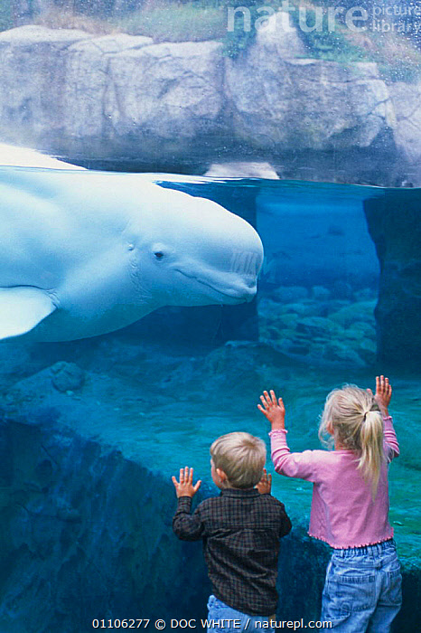 Boy and girl watch Beluga whale {Delphinapterus leucas} at Mystic Aquarium, Connecticut, USA. Model released  White whales  ,  AQUARIUM,AWE,CAPTIVE,CETACEAN,CETACEANS,CHILDREN,DWH,EDUCATION,MAMMAL,MAMMALS,MARINE,OUTSTANDING,PEOPLE,TANK,TOUCHING,TWO,USA,VERTICAL,WATCHING,WHALES,WILDLIFE,NORTH AMERICA  ,  DOC WHITE