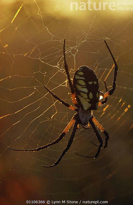 Nature Picture Library Black And Yellow Argiope Spider Argiope Aurantia At Dawn North Illinois Usa Lynn M Stone