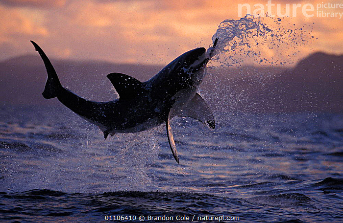 Nature Picture Library - Great white shark jumping above