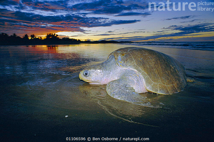 Olive ridley turtle emerging from sea at dusk. Costa Rica {Lepidochelys olivacea}  ,  REPTILE,COAST,ENDANGERED,LAY,BEHAVIOUR,MARINE,CENTRAL AMERICA,SUNSET,DUSK,BLUE PLANET,OSTIANAL,BEACHES,BEACHES,COSTA RICA,PACIFIC,REPRODUCTION,REPTILES,TURTLES,EGGS,CHELONIA, TURTLES  ,  Ben Osborne