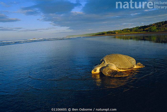 Olive ridley turtle returns to sea at dawn. Costa Rica {Lepidochelys olivacea}, PACIFIC,REPTILES,REPRODUCTION,BEACHES,BEACHES,LAY,TURTLES,EGGS,ENDANGERED,MARINE,BEHAVIOUR,BLUE PLANET,SUNRISE,SCENICS,LANDSCAPES,LAYING,OSTIANAL,CENTRAL AMERICA,DAWN,COAST,SCENIC,CHELONIA, TURTLES, Ben Osborne