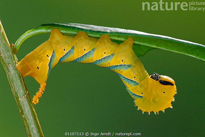 Nature Picture Library - Death's head hawkmoth caterpillar