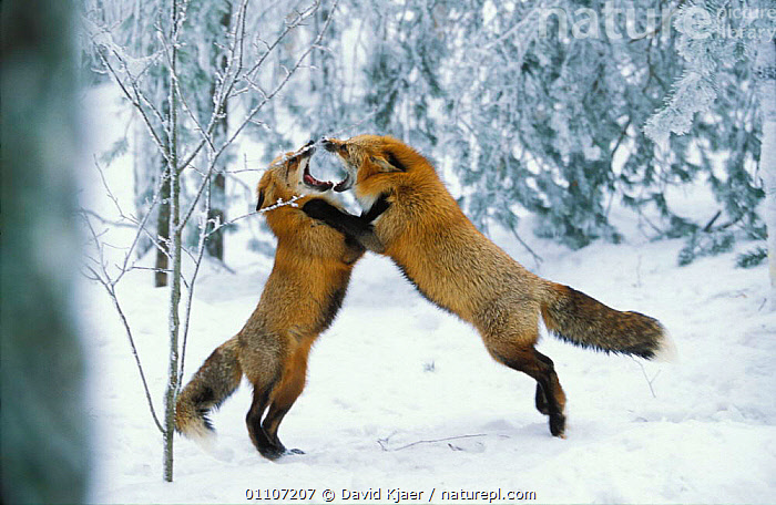Red fox males fighting in snow {Vulpes vulpes} Finland  ,  ACTION,AGGRESSIONS,BEHAVIOUR,CAPTIVE,CARNIVORE,CARNIVORES,DK,DOMINANCE,EUROPE,FIGHTING,FINLAND,HORIZONTAL,MALES,MAMMAL,MAMMALS,SCANDINAVIA,SNOW,TWO,WINTER,AGGRESSION,DOGS,CANIDS,Concepts, Europe, Europe, Europe,Catalogue1  ,  David Kjaer