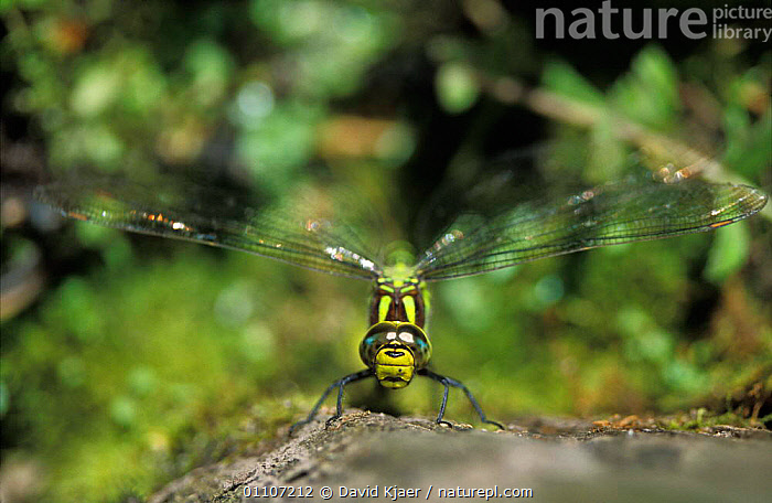 Nature Picture Library - Southern hawker dragonfly {Aeshna