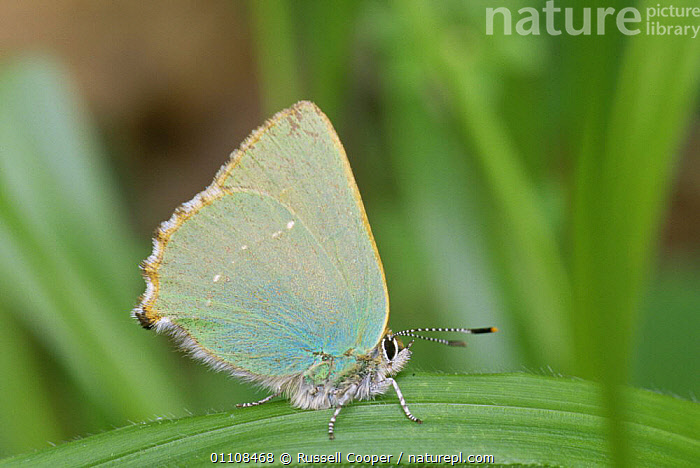 Green hairstreak butterfly {Callophrys rubi}, resting on leaf, UK  ,  ARTHROPODS,BUTTERFLIES,EUROPE,INSECTS,INVERTEBRATES,LEPIDOPTERA,UK,United Kingdom,British  ,  Russell Cooper