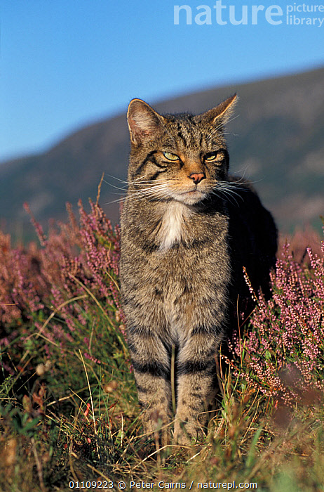 RF- Wild cat male portrait amongst heather (Felis silvestris) Cairngorms National Park, Scotland, UK. (This image may be licensed either as rights managed or royalty free.), BOV,CARNIVORES,CATS,CONIFEROUS,EUROPE,FLOWERS,MAMMALS,MOORLAND,PORTRAITS,RESERVE,,FELIS SILVESTRIS,Animal,Vertebrate,Mammal,Carnivore,Cat,Wildcat,Animalia,Animal,Wildlife,Vertebrate,Mammalia,Mammal,Carnivora,Carnivore,Felidae,Cat,Felis,Felis silvestris,Wildcat,Wild Cat,Suspicion,Nobody,Facial Expression,Frowning,Frown,Frowns,Scowl,Scowling,Scowls,Europe,Western Europe,UK,Great Britain,Scotland,Close Up,Front View,Portrait,Male Animal,Plant,Ericale,Ericales,Heather Family,Ericaceae,Heather,Outdoors,Nature,Wild,Reserve,Protected area,National Park,Cairngorms National Park,Bad mood,Animal portrait,RF,Royalty free,RFCAT1,RF17Q1,, Peter Cairns