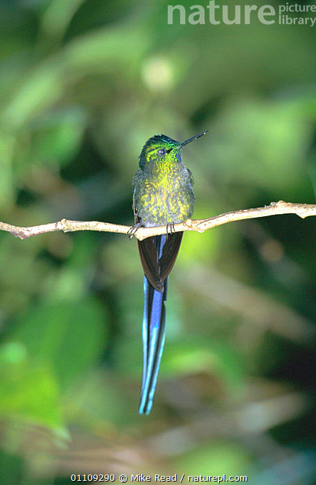 Long tailed sylph male {Aglaiocercus kingi} San Isidro, Galapagos  ,  TAILS,MALES,HUMMINGBIRDS,IRRIDESCENCE,VERTICAL,BIRDS,IRRIDESCENT  ,  Mike Read