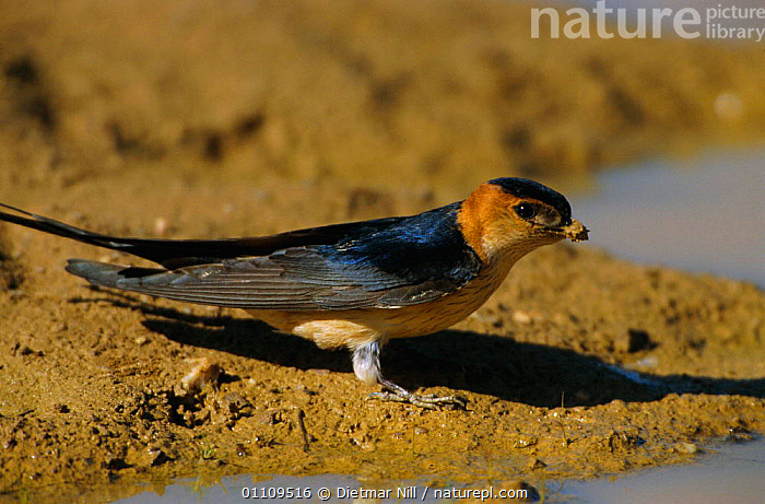 Red rumped swallow collecting mud for nest {Cecropis daurica} Spain, NESTING,BIRDS,SWALLOWS,EUROPE,HORIZONTAL,BEHAVIOUR, Dietmar Nill
