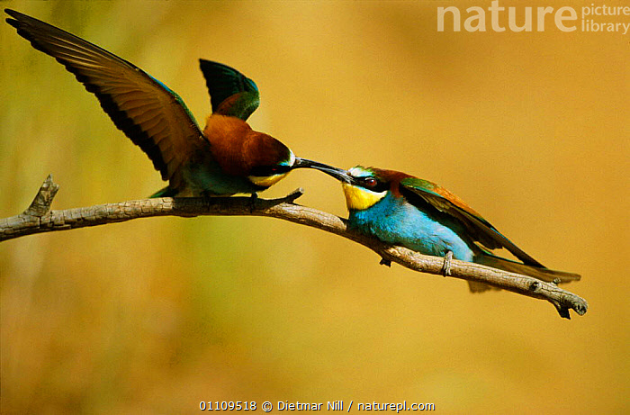 European bee eater males fighting {Merops apiaster} Bulgaria, HORIZONTAL,TWO,BEHAVIOUR,EUROPE,AGGRESSION,BIRD,BIRDS,COMPETITION,Concepts, Dietmar Nill
