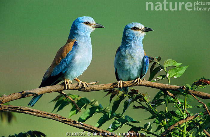 Common roller pair, male on right {Coracias garrulus} Bulgaria, EUROPE,BIRDS,TWO,ROLLERS,HORIZONTAL,MALE FEMALE PAIR,COUPLE,MALES, Dietmar Nill