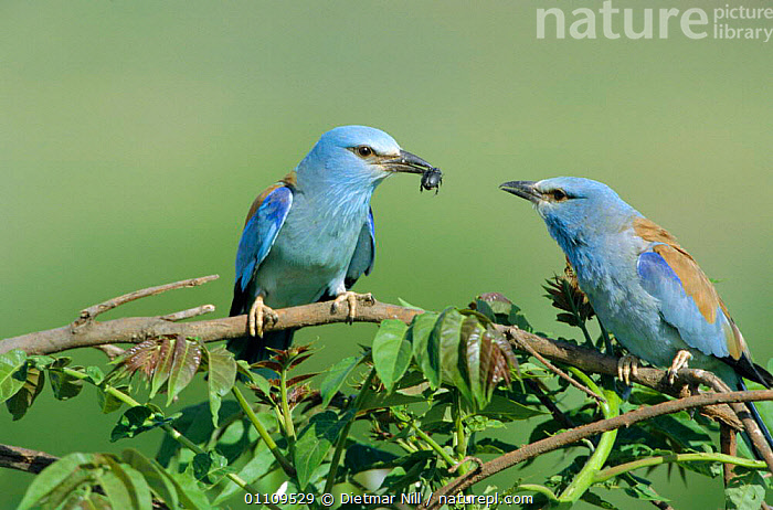 Common roller courtship, male offers insect to female {Coracias garrulus} Bulgaria, EUROPE,DISPLAY,MALES,PAIR,BEETLE,HORIZONTAL,AFFECTION,ROLLERS,GIFT,INTERESTING,COUPLE,FEEDING,TWO,BEHAVIOUR,BIRD,BIRDS,MALE FEMALE PAIR,Communication, Dietmar Nill