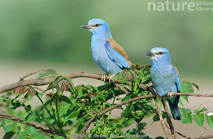 Common roller pair {Coracias garrulus} Bulgaria, MALE FEMALE PAIR,ROLLERS,BIRDS,COUPLE,HORIZONTAL,TWO,EUROPE, Dietmar Nill