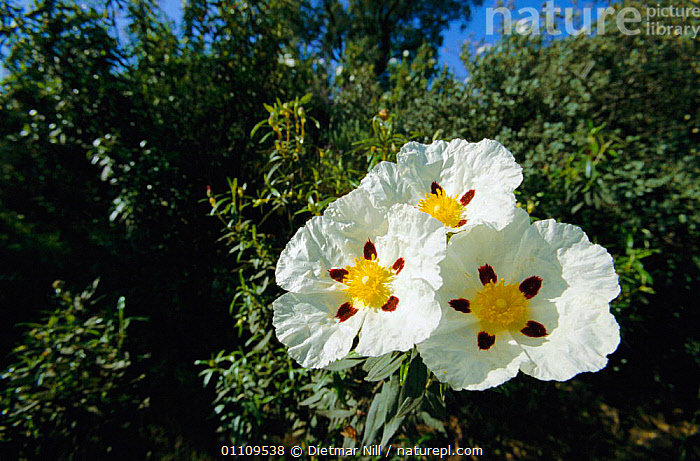 Rockrose {Cistus sp} in flower Spain, THREE,PLANTS,FLOWERS,EUROPE,HORIZONTAL,WHITE, Dietmar Nill