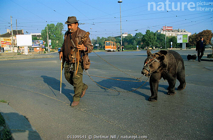 Captive Brown bear {Ursus arctos} lead by handlers through streets of Bulgaria, HORIZONTAL,MAMMALS,WORKING,CRUEL,INSTRUMENT,MAMMAL,MUSICAL,ROADS,CARNIVORES,SAD,EUROPE,CITIES,PEOPLE,TRADITIONAL,BEARS,Concepts, Dietmar Nill