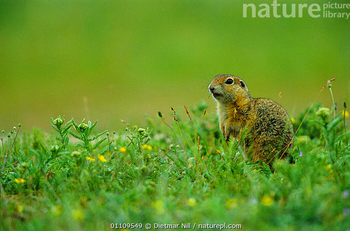 European suslik / Ground squirrel {Spermophilus citellus} Bulgaria, HORIZONTAL,RODENTS,MAMMALS,EUROPE,MEADOW,VERTICAL, Dietmar Nill