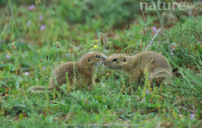 European susliks /Ground squirrels {Spermophilus citellus} Bulgaria, SQUIRREL,TWO,GROUND,EUROPE,RODENTS,MAMMALS,AFFECTION,FRIENDSHIP,MAMMAL,MEADOW,CONCEPTS, Dietmar Nill
