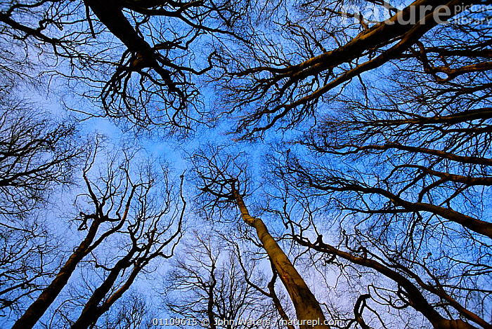 View up through canopy of Beech trees in winter {Fagus sylvatica} Somerset, England, BRITISH,EUROPE,ABSTRACTS,UK,VERTICAL,United Kingdom, John Waters