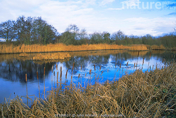 Reeds growing on old peat diggings, Westhay Nature Reserve, Somerset levels, UK, WETLANDS,LANDSCAPES,SCENIC,HORIZONTAL,SCENICS,EUROPE,ENGLAND, John Waters
