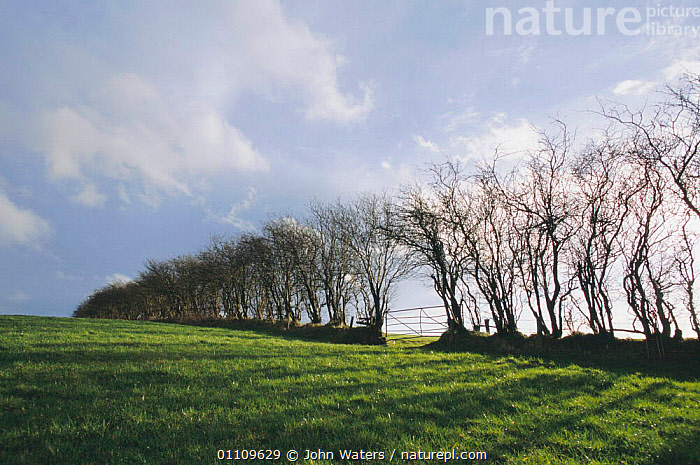 Hawthorn hedge in winter, Mendip hills, Somerset, England, FARMLAND,LANDSCAPES,HEDGEROWS,TREES,HEDGES,EUROPE,UK,United Kingdom,Plants,British,ENGLAND, John Waters