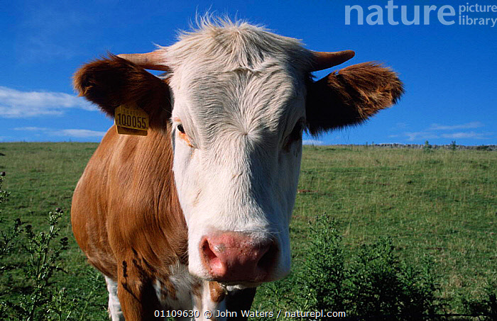 Beef steer, domestic cattle {Bos taurus} England, COW,EUROPE,FACES,HEADS,LIVESTOCK,MALES,PORTRAIT,PORTRAITS,UK,United Kingdom,British, John Waters