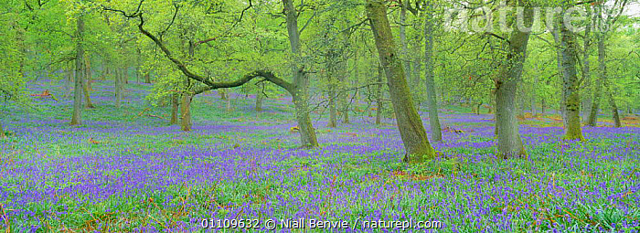 Bluebells in Pendunculate oak woodland, Perthshire, Scotland, UK {Hyacinthoides non-scripta}, EUROPE, FLOWERS, LANDSCAPES, LILIACEAE, MONOCOTYLEDONS, PLANTS, PURPLE, SPRING, TREES, WOODLANDS,UK,United Kingdom, Niall Benvie