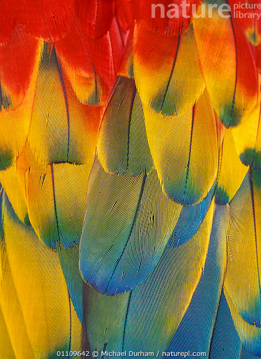 Scarlet Macaw feathers close up {Ara macao} Native South Mexico to Amazonia (Brazil)., ABSTRACT,BIRDS,CAPTIVE,CLOSE UPS,COLOURFUL,DETAIL,FEATHERS,MACAWS,MDU,PARROTS,SOUTH AMERICA,VERTICAL, Michael Durham