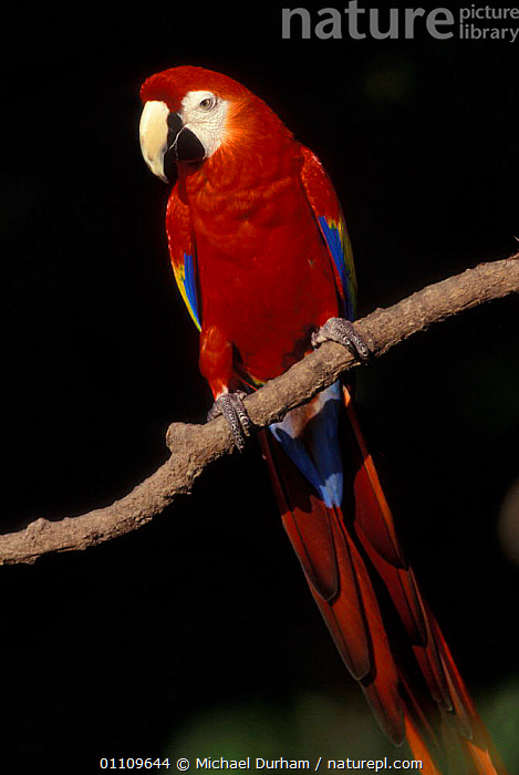 Scarlet Macaw portrait {Ara macao} occurs South Mexico to Amazonia (Brazil)., BIRD,BIRDS,CAPTIVE,COLOURFUL,MACAWS,MDU,PARROT,PORTRAIT,SOUTH AMERICA,SOUTH AMERICA,VERTICAL,PARROTS, Michael Durham