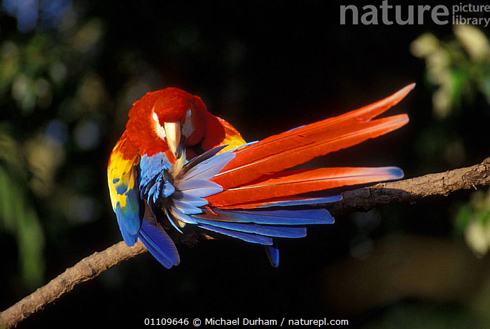 Scarlet Macaw preening feathers {Ara macao} occurs South Mexico to Amazonia, Brazil., BIRD,BIRDS,CAPTIVE,CLEANING,COLOURFUL,FEATHERS,HORIZONTAL,MACAWS,MDU,PARROT,PREENING,SOUTH AMERICA,SOUTH AMERICA,PARROTS, Michael Durham