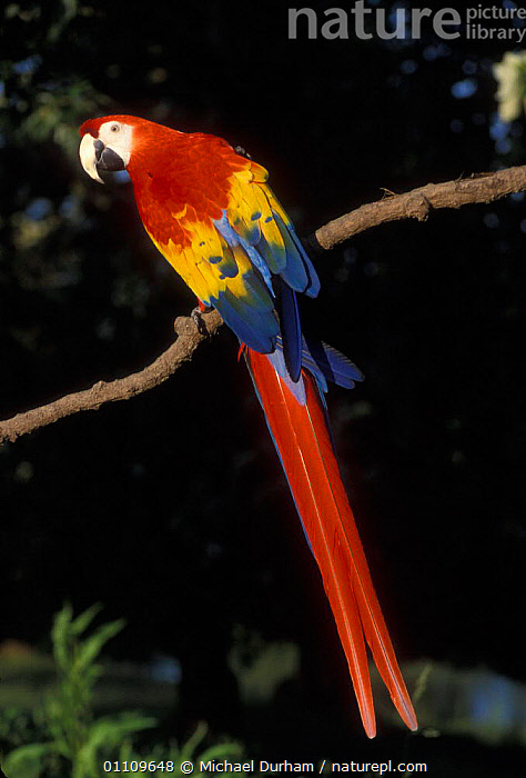 Scarlet Macaw portrait {Ara macao} occurs South Mexico to Amazonia / Brazil, BIRD,BIRDS,CAPTIVE,COLOURFUL,FEATHERS,MACAWS,MDU,ONE,PARROT,SOUTH AMERICA,SOUTH AMERICA,VERTICAL,PARROTS, Michael Durham