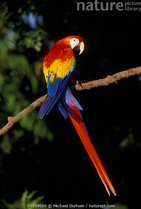 Scarlet Macaw portrait {Ara macao} occurs South Mexico to Amazonia / Brazil, BIRD,BIRDS,CAPTIVE,COLOURFUL,MACAWS,MDU,ONE,PARROT,PORTRAIT,SOUTH AMERICA,SOUTH AMERICA,VERTICAL,PARROTS, Michael Durham