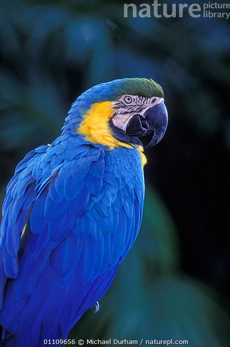 Blue and Yellow macaw portrait {Ara ararauna} captive - occurrs Central-America and South-America, AMERICA,BIRD,CAPTIVE,COLOURFUL,MACAWS,ONE,PARROTS, Michael Durham