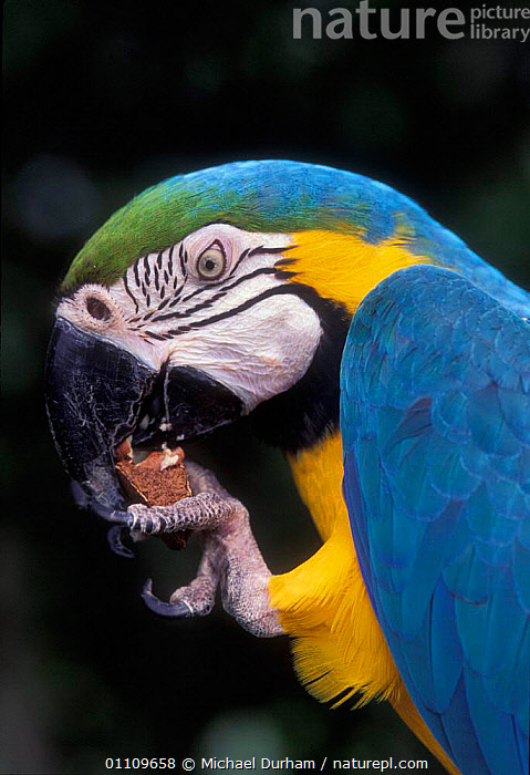 Blue and Yellow macaw holding and eating brazil nut {Ara ararauna} captive - occurrs Central-America and South-America, AMAZONIA,BEAKS,BIRD,BIRDS,CAPTIVE,CLAWS,COLOURFUL,FEEDING,MACAWS,MDU,NUTS,ONE,PARROTS,PORTRAIT,SOUTH AMERICA, Michael Durham
