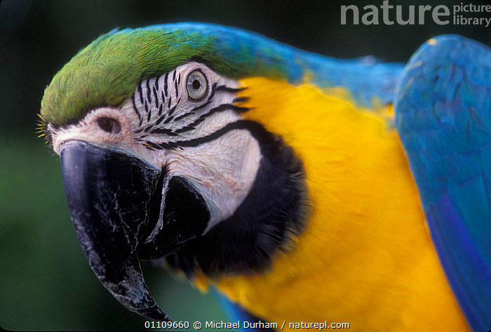 Blue and Yellow macaw portrait {Ara ararauna} captive - occurrs Central-America and South-America, AMAZONIA,BIRD,BIRDS,BRAZIL,CAPTIVE,COLOURFUL,HEADS,MACAWS,MDU,ONE,PARROTS,PORTRAITS,SOUTH AMERICA, Michael Durham