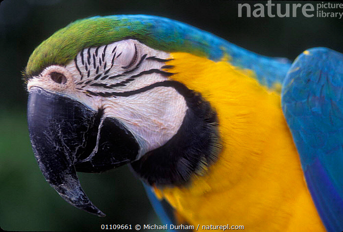 Blue and Yellow macaw portrait eye closed {Ara ararauna} captive - occurrs Central-America and South-America, AMAZONIA,BIRDS,CAPTIVE,COLOURFUL,EYES,FACES,HORIZONTAL,MACAWS,MDU,PARROTS,PORTRAITS,SKIN,SOUTH AMERICA, Michael Durham