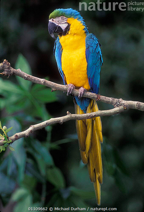 Blue and Yellow macaw portrait {Ara ararauna} captive - occurrs Central-America and South-America Captive, AMAZONIA,BIRD,BIRDS,BRAZIL,CAPTIVE,COLOURFUL,MACAWS,MDU,ONE,PARROTS,SOUTH AMERICA, Michael Durham