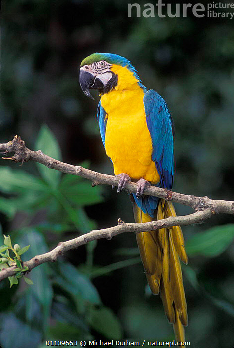 Blue and Yellow macaw portrait {Ara ararauna} captive - occurrs Central-America and South-America Captive,, AMAZONIA,BIRD,BIRDS,CAPTIVE,COLOURFUL,MACAWS,MDU,ONE,PARROTS,PORTRAITS,SCARLET,SOUTH AMERICA, Michael Durham