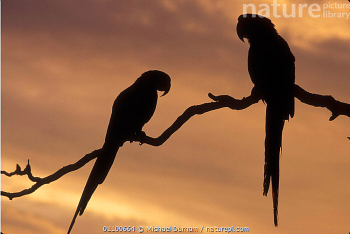 Scarlet macaw pair silhouetted in tree {Ara ararauna} occur Central-America and South-America. Captive, AMERICA,BIRDS,CAPTIVE,HORIZONTAL,MACAWS,MDU,PARROTS,SILHOUETTES,TREE,TWO, Michael Durham