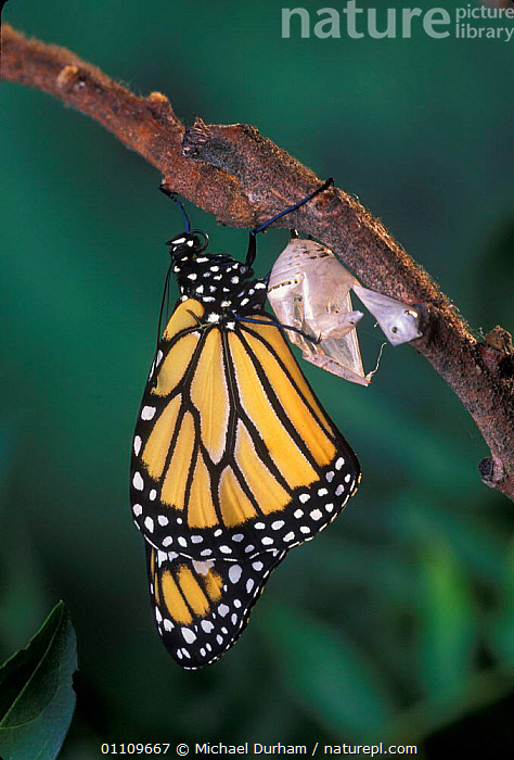 Monarch butterfly {Danaus Plexippus} fully emerged from chrysalis casing. Sequence 11 of 11., ADULT,ARTHROPODS,CHRYSALIS,INSECTS,LEPIDOPTERA,LIFE CYCLE,MDU,METAMORPHOSIS,NORTH AMERICA,USA,GROWTH,INVERTEBRATES,Concepts, Michael Durham