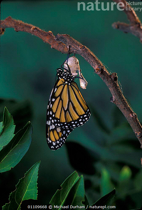 Monarch butterfly {Danaus plexippus} adult emerging from chrysalis casing. Sequence 10 of 11, ARTHROPODS,CHRYSALIS,EMERGING,INSECTS,LEPIDOPTERA,LIFE CYCLE,MDU,METAMORPHOSIS,NORTH AMERICA,PUPA,USA,GROWTH,INVERTEBRATES,Concepts, Michael Durham