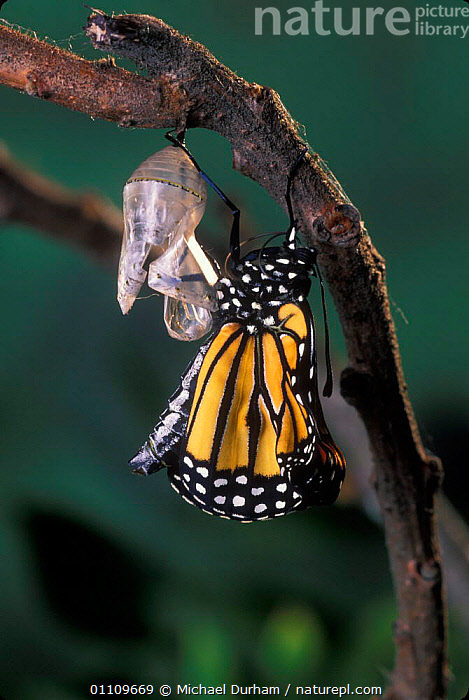 Monarch butterfly {Danaus plexippus} adult emerging from chrysalis casing. Sequence 9 of 11, ARTHROPODS,INSECTS,LEPIDOPTERA,LIFE CYCLE,MDU,METAMORPHOSIS,NORTH AMERICA,PUPA,USA,GROWTH,INVERTEBRATES,Concepts, Michael Durham
