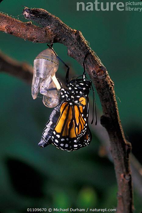 Monarch butterfly {Danaus plexippus} adult emerging from chrysalis casing. Sequence 8 of 11, ARTHROPODS,BUTTERFLIES,INSECTS,LEPIDOPTERA,LIFE CYCLE,MDU,METAMORPHOSIS,NORTH AMERICA,PUPA,USA,GROWTH,INVERTEBRATES,Concepts, Michael Durham