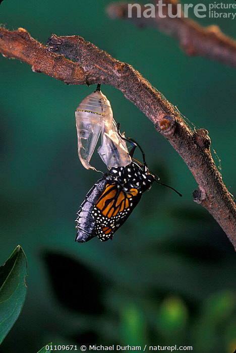 Monarch butterfly {Danaus plexippus} adult emerging from chrysalis casing. Sequence 7 of 11, ARTHROPODS,BUTTERFLIES,INSECTS,LEPIDOPTERA,LIFE CYCLE,MDU,METAMORPHOSIS,NORTH AMERICA,PUPA,GROWTH,INVERTEBRATES,Concepts, Michael Durham
