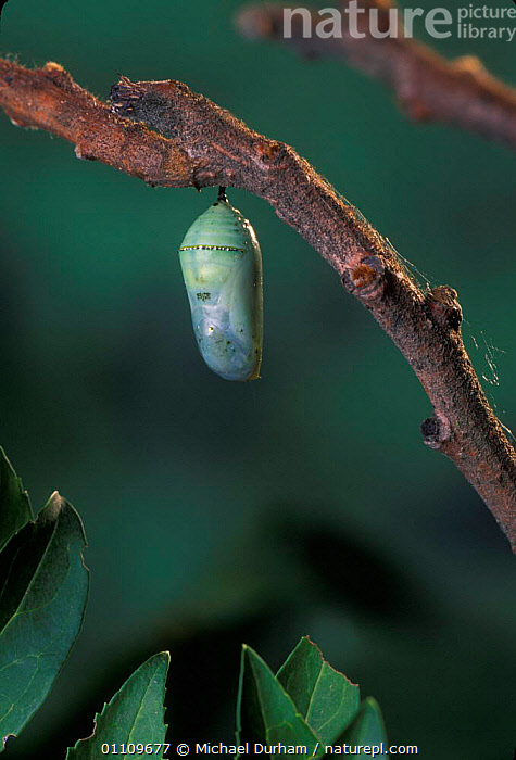 Monarch butterfly chrysalis {Danaus Plexippus} Sequence 1 of 11, ARTHROPODS,BUTTERFLIES,INSECTS,LEPIDOPTERA,LIFE CYCLE,MDU,METAMORPHOSIS,NORTH AMERICA,PUPA,GROWTH,INVERTEBRATES,Concepts, Michael Durham