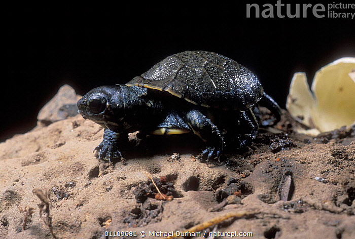 Pacific / Western pond turtle {Clemmys marmorata} egg hatching sequence, Washington USA. Temporarily captive/controlled conditions, CHELONIA, SEQUENCE, USA, VERTEBRATES, BIRTH, EGGS, EMERGING, POND-TURTLES, REPTILES, TURTLES,North America, Michael Durham