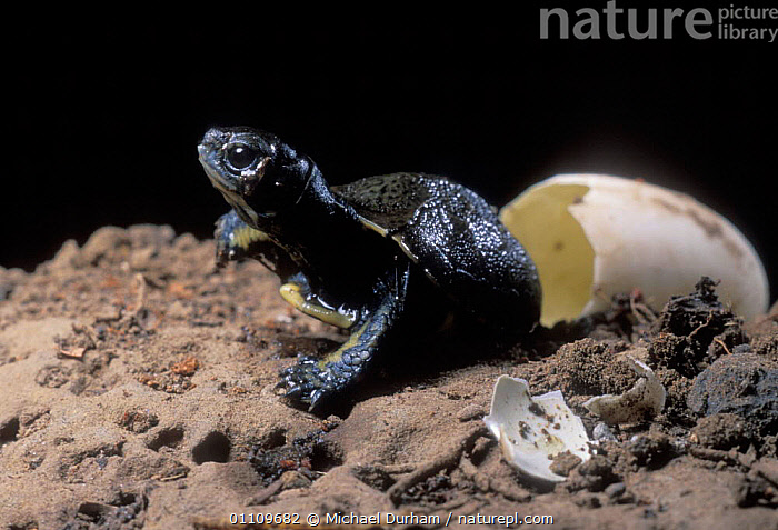 Pacific / Western pond turtle {Clemmys marmorata} egg hatching sequence, Washington USA. Temporarily captive/controlled conditions., BIRTH, EGGS, POND-TURTLES, REPTILES, TURTLES, CHELONIA, EMERGING, SEQUENCE, USA, VERTEBRATES,North America, Michael Durham
