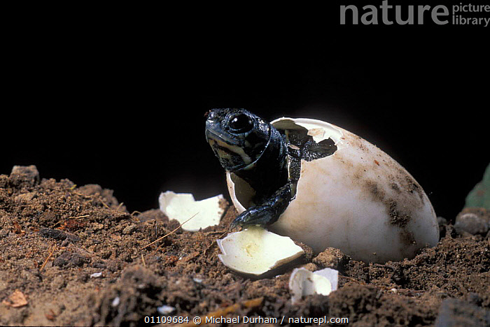 Pacific / Western pond turtle {Clemmys marmorata} egg hatching sequence, Washington USA. Temporarily captive/controlled conditions, BIRTH, EGGS, SEQUENCE, CHELONIA, EMERGING, POND-TURTLES, REPTILES, TURTLES, USA, VERTEBRATES,North America, Michael Durham
