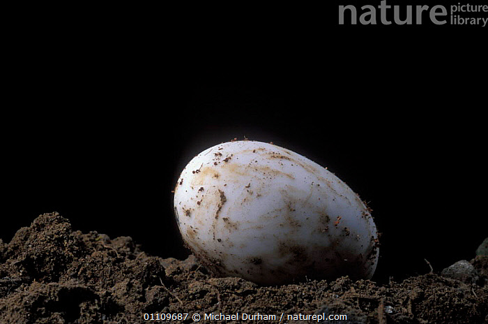 Pacific / Western pond turtle {Clemmys marmorata} egg hatching sequence Washington USA. Temporarily captive / controlled conditions, BIRTH, EGGS, POND-TURTLES, REPTILES, TURTLES, CHELONIA, SEQUENCE, VERTEBRATES, Michael Durham
